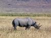 Ngoron goro, nosoroh najvzácnejší