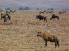 Ngoron goro, divočina