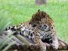 Caracas - jaguár v parku Miranda