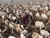 dinka dobytok