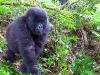 Rwanda, gorilia mládež