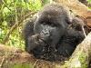 Rwanda, gorili