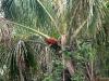 Delta Orinoco - Vrešťan v palme Moriče
