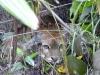 Delta Orinoco - Puma Americká, skritý pozorovateľ