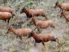 badingalo antilopy